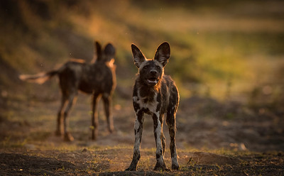 Painted dogs on evening patrol, Mana Pools National Park