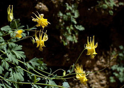 Yellow Columbine, The Narrows, Zion NP
