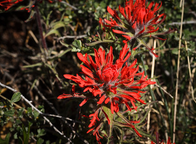 Flowers of Zion National Park - Kolob Canyons
