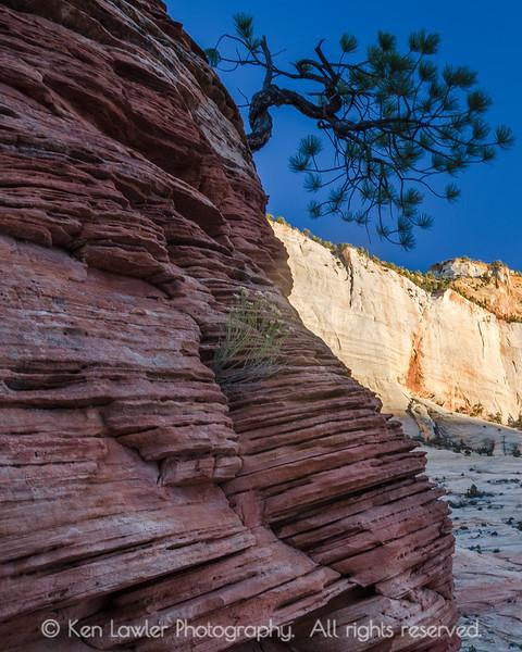 Gnarled pine in Zion sandstone