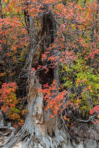 Tree marinated in fall color