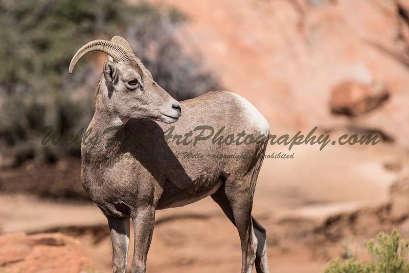 Ram looking back