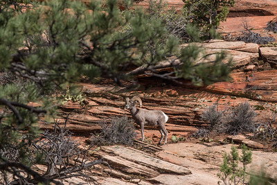 Alpha Ram in East Zion