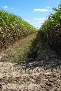 During his tour of Louisiana, American Farm Bureau President Zippy Duvall experience the full process getting sugar from the field to the kitchen. Here we have two rows of sugarcane ready for harvest.