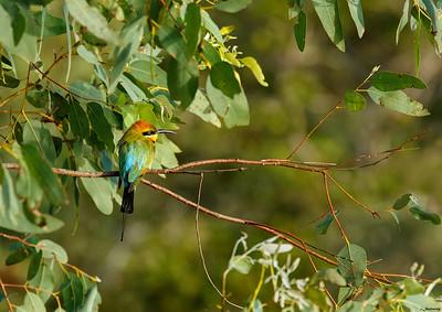 The Rainbow Bird