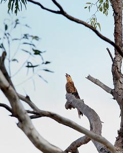 Kite ; Fitzroy River