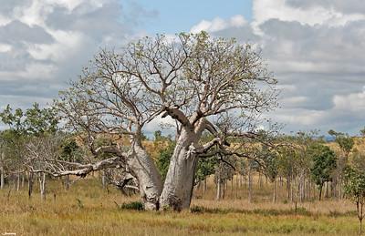 Baobab Tree, Kimberley