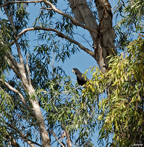 The Paperbark Canopy, Black Cockatoo