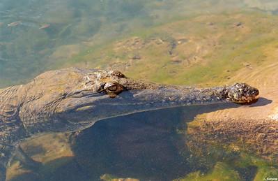 Freshwater Crocodyle