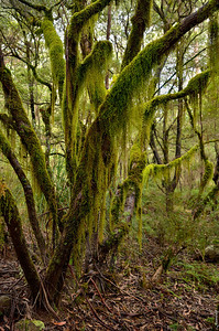 Mountain Forest ; Northern Tablelands