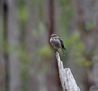 Bird in Forest ; Rodway Range