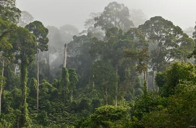 Forest ; Borneo