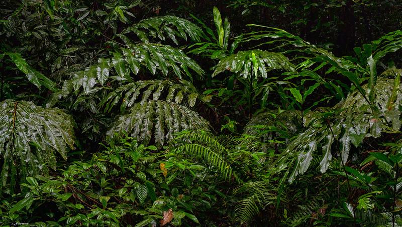 Forest ; Borneo II