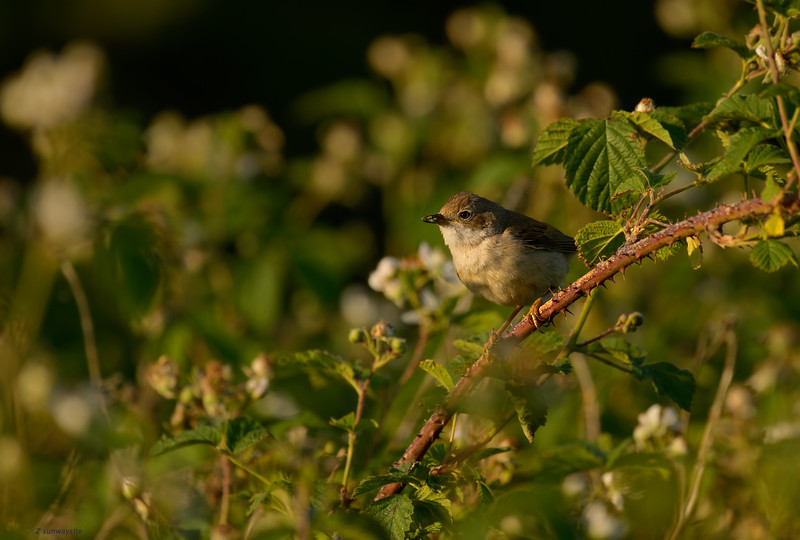 Whitethroat II
