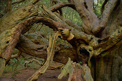 Yew Forest II