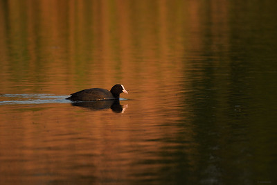 Coot ; Evening Water