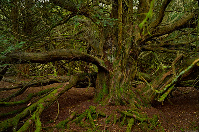 Yew Forest