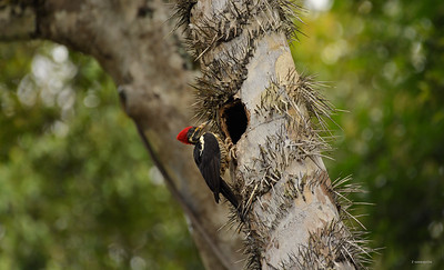 Woodpecker II