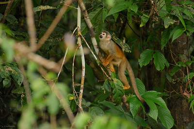 Squirrel Monkey II