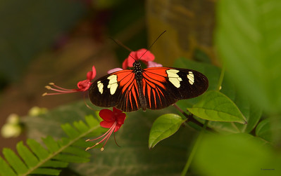 The Longwing