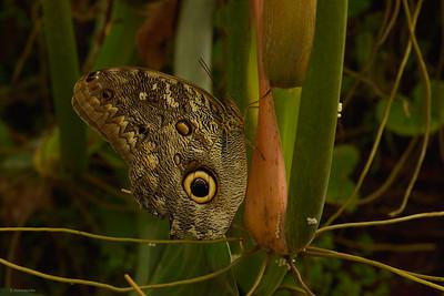 Illioneus Owl