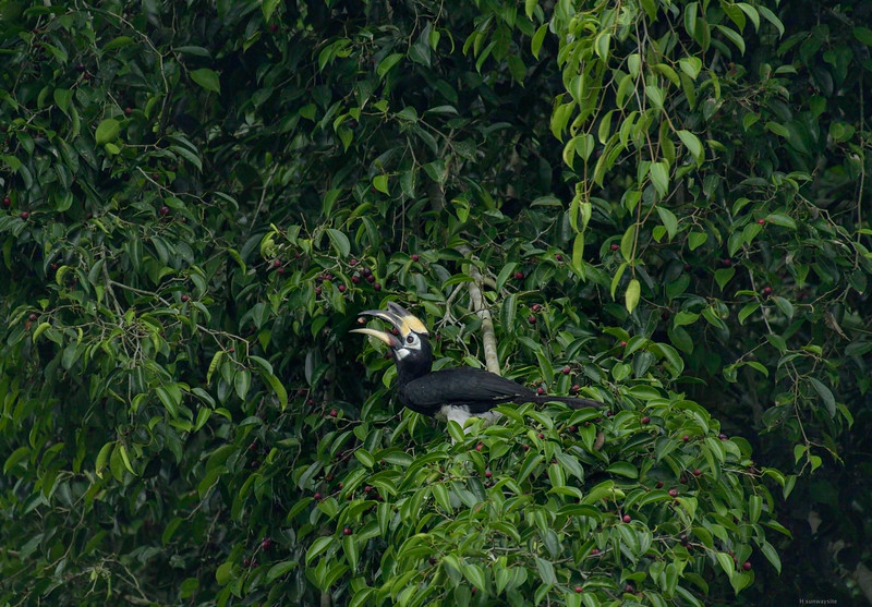 Nikkor 200-500 VR/TC 14 III @700mm, f8, ISO 3200; D750; crop (APS-H);<br /> The lady hornbill also feeds by herself. Within moments she swallowed 6 figs.