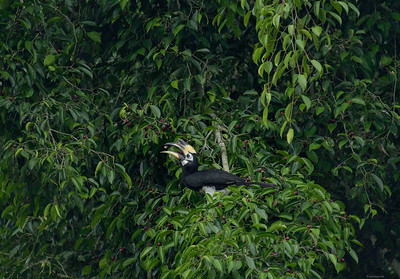 Nikkor 200-500 VR/TC 14 III @700mm, f8, ISO 3200; D750; crop (APS-H); The lady hornbill also feeds by herself. Within moments she swallowed 6 figs.