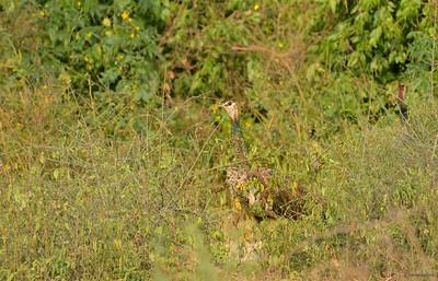 Indian Peafowl III