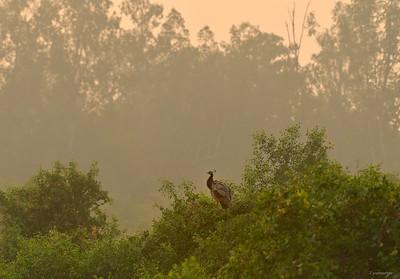 Indian Peafowl II