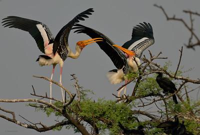 Painted Stork III