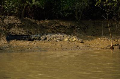 Saltwater Crocodile II
