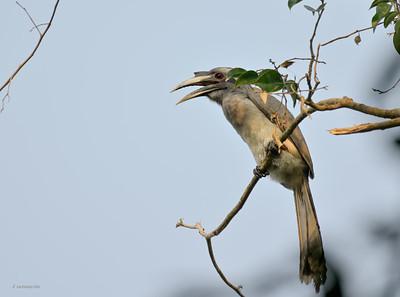 Grey Hornbill II