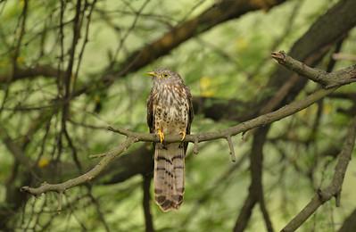 Hawk-cuckoo II