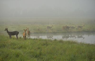Barasingha