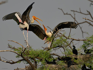 Painted Stork II