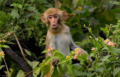 Rhesus Macaque IV