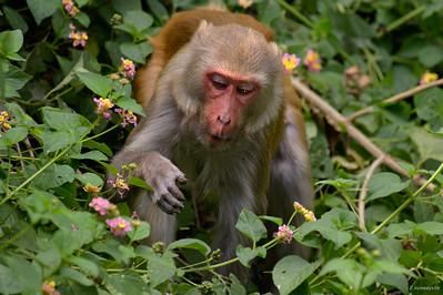 Rhesus Macaque III