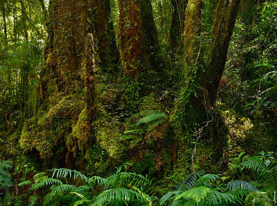 Rain Forest ; Oparara Valley