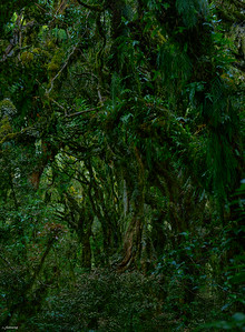 Taranaki Forest ; Nightfall