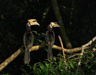 Oriental Pied Hornbill III