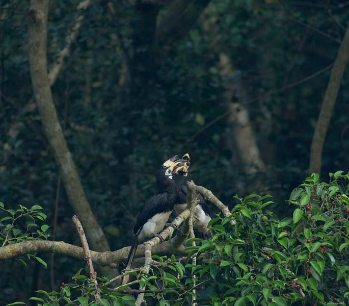 Oriental Pied Hornbill II