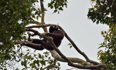 The Calling Gibbon