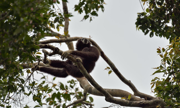 The Calling Gibbon