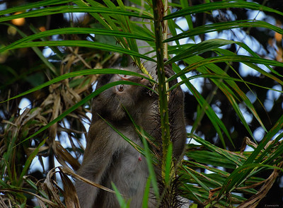 Macaque III
