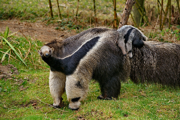 Anteater Mom and son