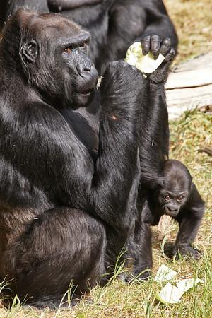 Gorilla Baby Hasani