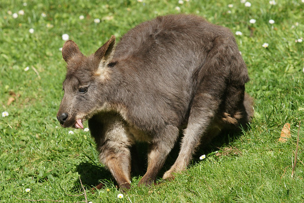 Kangaroos with Joeys