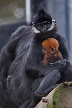 Langur Babies Oct 1 -24 2010