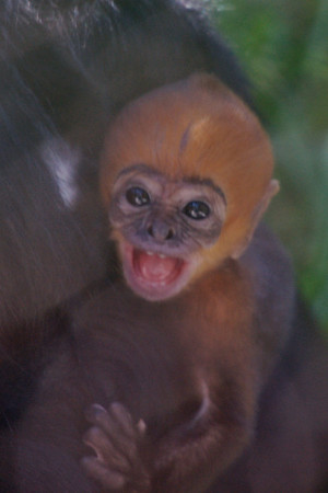 langur baby sep 24-30 2010