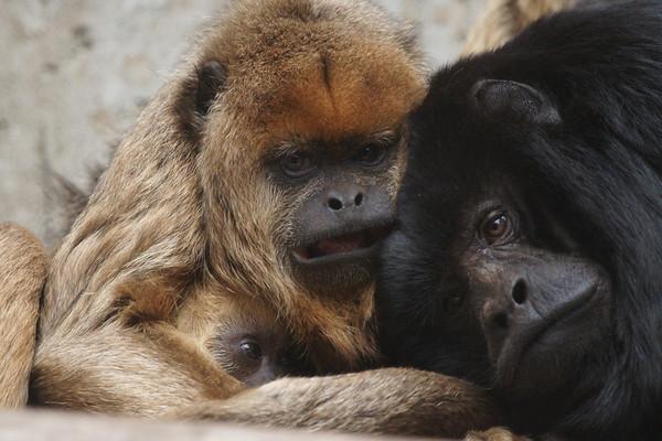More Howler Monkeys